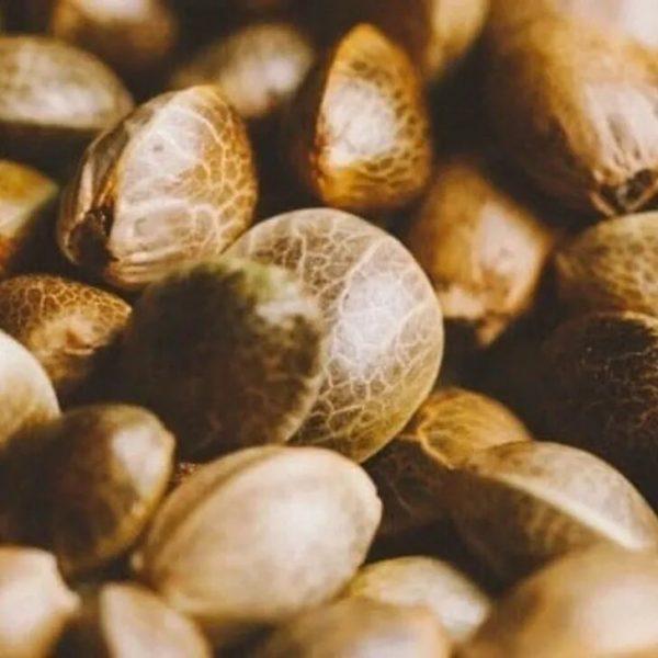 Bulk Earthquake CBD-CBG Hybrid Seeds 2