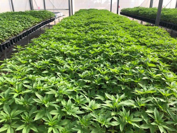 Bulk Earthquake CBD-CBG Hybrid Seeds 5